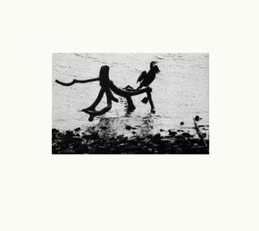 river-cormorant--b&w